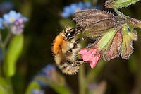 Ackerhummel, Acker-Hummel, Acker - Hummel, Bombus pascuorum, syn. Bombus agrorum, Blütenbesuch an Lungenkraut, Nektarsuche, Bestäubung, common carder bee