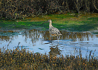 """CALIFORNIA CURLEW""<br />