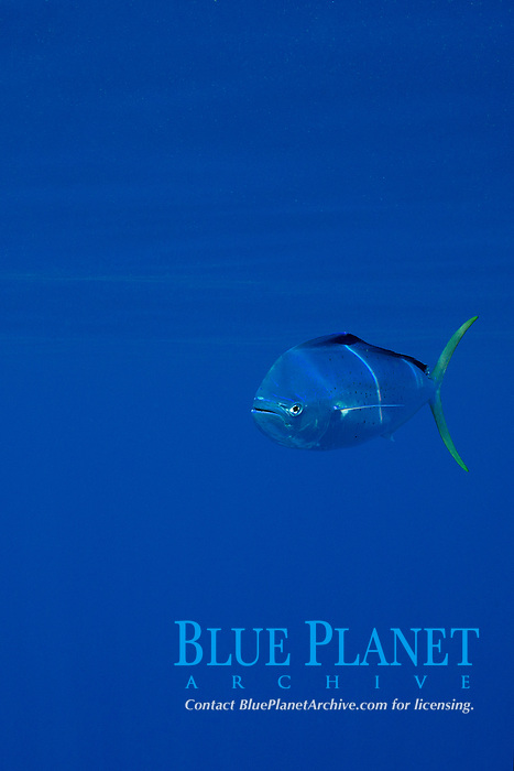 dorado, mahi-mahi, mahimahi, mahi mahi, or dolphin fish, Coryphaena hippurus, juvenile schoolie offshore, South Kona Coast, Big Island, Hawaii, USA, Pacific Ocean