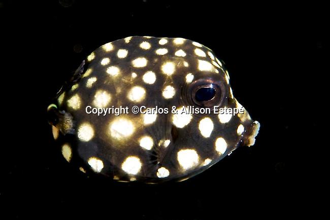 Lactophrys triqueter, Smooth trunkfish, juvenile, Florida Keys