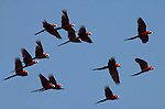 Red & Green Macaws, Ara Chloroptera, in flight against blue sky, Manu, Peru, flock, group, flying . .Peru....