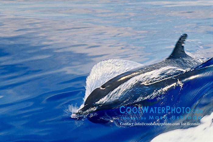 pantropical spotted dolphin, Stenella attenuata, wake-riding, Kona Coast, Big Island, Hawaii, USA, Pacific Ocean