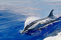 pantropical spotted dolphin, Stenella attenuata, wake-riding, Kona Coast, Big Island, Hawaii, USA, Pacific Ocean