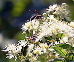 Wasp seen in the Esopus Bend Nature Preserve, in Saugerties,NY, on Wednesday, August 16, 2017. Photo by Jim Peppler. Copyright/Jim Peppler-2017.