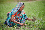 Habiza Begum weeds her peanuts in West Fasura, a village on an island in the Brahmaputra River in northern Bangladesh.