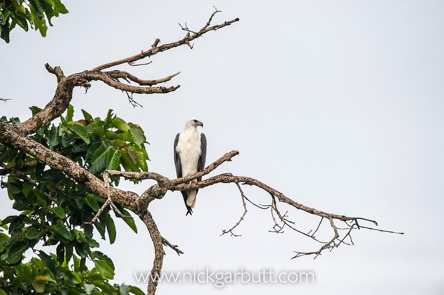 White-bellied Fish Eagle (Haliaeetus leucogaster) hunting from branch overhanging the river. Kinabatangan River, Sabah, Borneo. September.