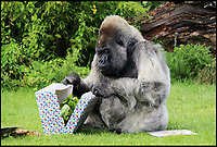 BNPS.co.uk (01202 558833)<br /> Pic: IanTurner/Longleat/BNPS<br /> <br /> Lettuce....again.<br /> <br /> Like most 56 year old's, Nico, Longleat Safari Park's oldest resident, looked like he hoped staff had forgotten his birthday this week.<br /> <br /> The ageing Western Lowland silverback is the oldest Gorilla in Europe, and the second oldest in the world.<br /> <br /> The grumpy ape had a cursory glance at his birthday card which had his face on it with a tongue in cheek caption to 'try and contain your excitement' but then unceremoniously discarded it. <br /> <br /> However, the grumpy gorilla did crack a smile as he devoured his birthday cake which was made out of bananas and courgettes with some carrot candles.