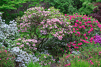 ORPTC_D136 - USA, Oregon, Portland, Crystal Springs Rhododendron Garden, Colorful azaleas and rhododendrons in spring bloom.