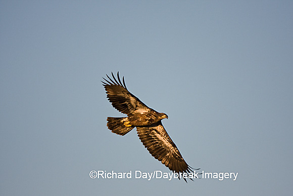 00807-036.05 Bald Eagle (Haliaeetus leucocephalus) immature, in flight over Mississippi River, Alton, IL