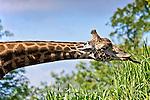 Masai giraffe, Giraffa camelopardalis tippelskirchi (captive Pittsburgh Zoo)
