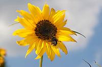 Sonnenblume, Helianthus annuus, Common Sunflower