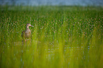 Duck standing amidst the grass. Lake Bierstadt, Rocky Mountain National Park, Colorado.
