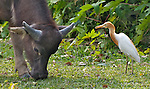 Hong Kong  A symbiotic relationship exists between water buffalo and the cattle egret, seen here at Pui O on Lantau Island, Hong Kong