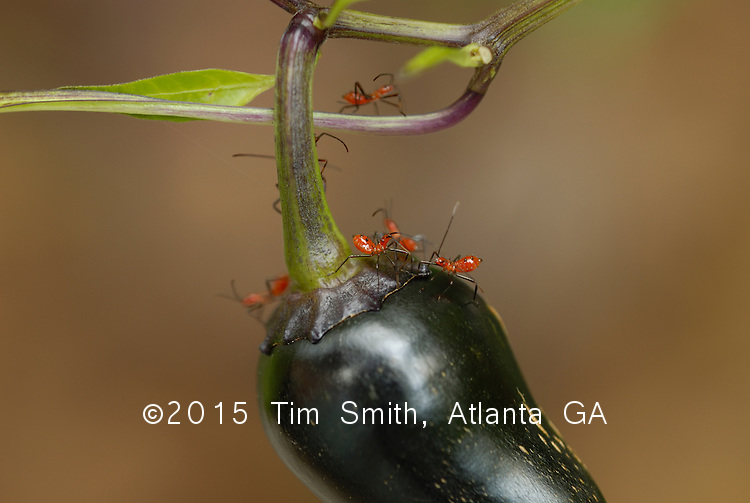 August 28, 2006  Atlanta Georgia, United States, North America....These red assassin bugs are hard at work on a black jalapeño pepper.