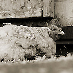 Photograph by Isa Leshko, Rooster, Age Unknown