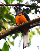 Male white-tailed trogon