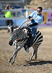 Brade Emmans races in a zebra race during the 54th International Camel Races in Virginia City, Nev., on Friday, Sept. 6, 2013.  <br /> Photo by Cathleen Allison