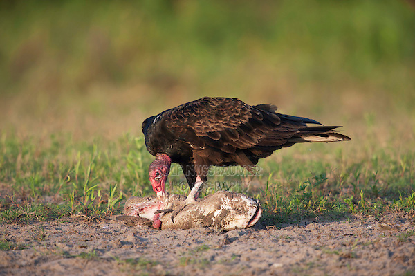 Turkey Vulture (Cathartes aura),adult eating catfish, Dinero, Lake Corpus Christi, South Texas, USA