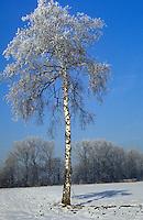 Hänge-Birke, Sand-Birke, Birke, Hängebirke, im Winter, Betula pendula, Blätter, Blatt vor blauem Himmel, European White Birch, Silver Birch