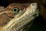 Brown Basilisk (Basiliscus vittatus), Costa Rica.