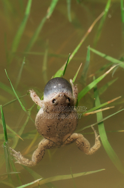 Great Plains Narrowmouth Toad (Gastrophryne olivacea), male at night calling, Laredo, Webb County, South Texas, USA