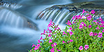 Mount Rainier National Park,  WA  <br /> Lewis' Monkeyflower (Mimulus lewisii) blooming along the Paradise River