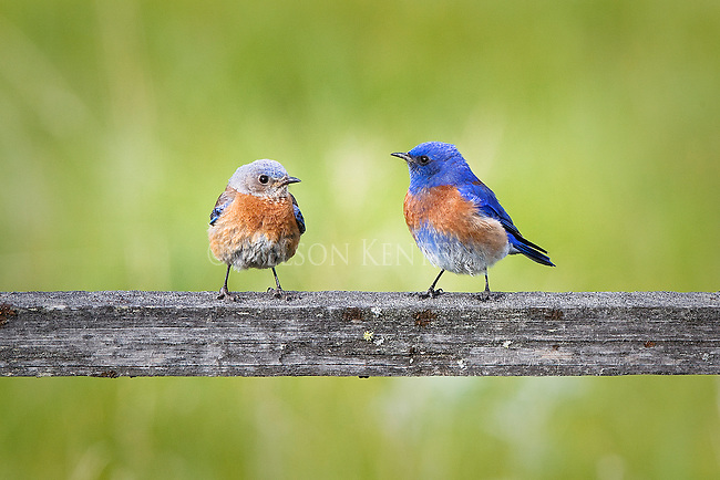 A pair of Western Bluebirds sitting on a fence rail