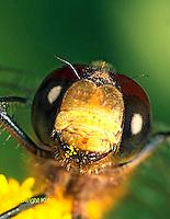 1O06-031b  Skimmer Dragonfly - Ruby Meadowhawk Male - Sympetrum rubicundulum