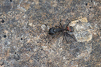 Rossameise, Roßameise, Riesenameise, Camponotus cruentatus, Myrmosericus cruentatus, carpenter ant, Rossameisen, Roßameisen, Riesenameisen, carpenter ants