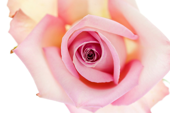 close up, macro of a pink rose, top down angle