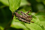 Field Grasshoppers, Chorthippus brunneus, The Larches, Kent Wildlife Trust, UK, pair together