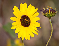The wild native sunflower is the state flower of Kansas,  They grow in fields and along the roadsides.