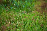 Scirpus lineatus, Drooping Bulrush flowering in Tallgrass Prairie Preserve, Oklahoma
