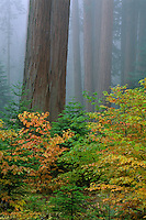 Mountain dogwood and giant sequoia<br />
