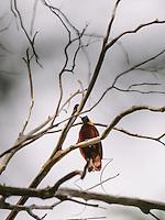 The red bird of paradise (Cenderawasih Merah) at Gam Island, Raja Ampat archipelago, West Papua, Indonesia