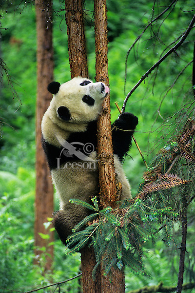 Giant Panda (Ailuropoda melanoleuca) climbing evergreen tree in bamboo forest of central China.