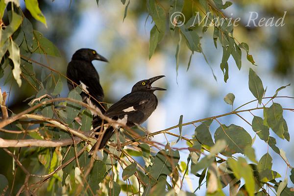Pied Currawong (Strepera graculina) calling, Carnarvon Gorge National Park, Queensland, Australia