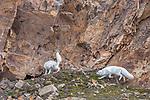 Norway, Svalbard, Arctic fox (Vulpes lagopus)