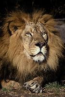 Lion; Panthera leo; male; zoo
