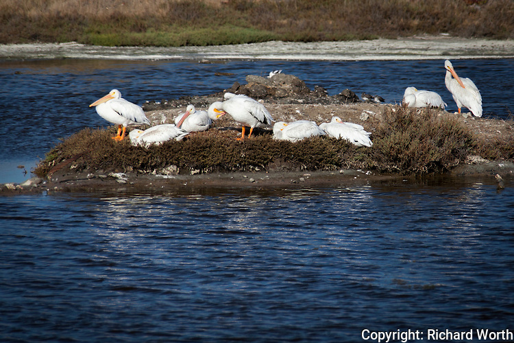 White pelicans find respite on an island in the middle of a pond adjacent to San Francisco Bay.