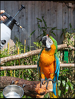 Longleat's macaw cools off in the heatwave.