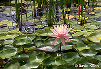0723-1017  Full Bloom Water Lily - Nymphaea  © David Kuhn/Dwight Kuhn Photography
