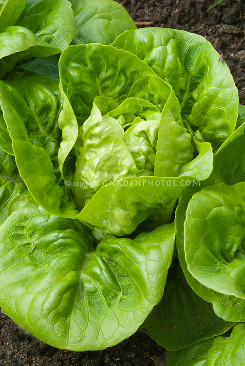 Lettuce Little Gem - Pearl cos dwarf romaine salad vegetable