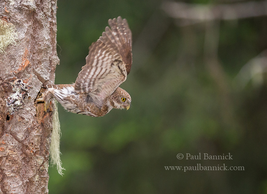 A female Northern Pygmy Owl explodes from her nest after delivering prey. (Oregon)