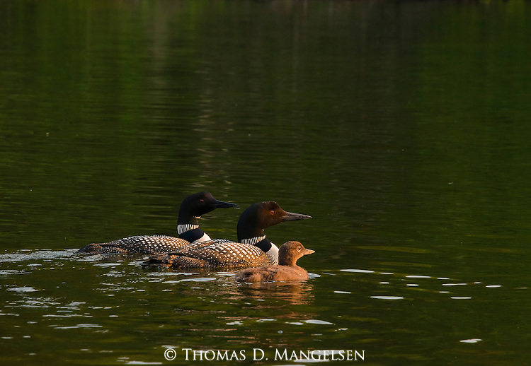 A family of loons swim on Lake Anishinabi in Western Ontario, Canada.