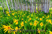 Tom Mackie, LANDSCAPES, LANDSCHAFTEN, PAISAJES, photos,+America, American, Colorado, Crested Butte, North America, Tom Mackie, USA, aspen, aspens, beautiful, dramatic outdoors, flow+er, flowers, green, horizontal, horizontals, landscape, landscapes, mules ear sunflower, natural landscape, tree, trees, wild+flower, wildflowers, yellow,America, American, Colorado, Crested Butte, North America, Tom Mackie, USA, aspen, aspens, beauti+ful, dramatic outdoors, flower, flowers, green, horizontal, horizontals, landscape, landscapes, mules ear sunflower, natural+,GBTM190216-1,#l#, EVERYDAY