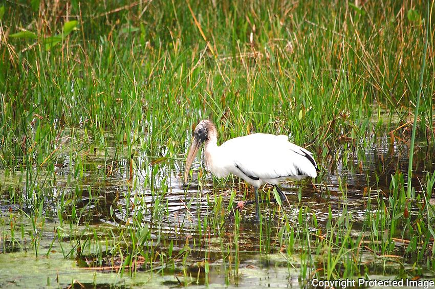 Wood Stork wading, probably seeking food,  in a marshy area of Green Cay Wetlands, Boynton Beach, Florida.
