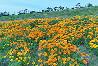 WASJ_D130 - USA, Washington, San Juan Island National Historical Park, American Camp, California poppies in bloom and distant conifers on Mount Finlayson.