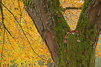Sugar Maple and Fallen Leaves