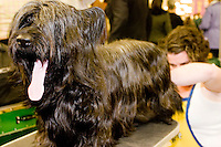 Backstage at the 130th annual Westminster Kennel Club Dog Show, held at Madison Square Garden in New York City on February 13, 2006.  <br /> <br /> The Westminster Kennel Club Dog Show is considered to be the most prestigious dog show in the world, a two day event comprising competitions in all 179 breeds of dog recognized by the American Kennel Club.  It is also the second oldest continuously run sporting event in the United States (after the Kentucky Derby), having taken place annually since 1875.  <br /> <br /> The competition is a conformation dog show, meaning that the dogs are judged by how close they match the published ideal standards for their particular breed.  More uncommonly the competition is &quot;benched&quot;, meaning that the dogs are required to be in assigned areas (or benches) while not being judged, allowing them to interact with fans and other breeders.  Dogs are therefore under constant scrutiny throughout the whole process, as are the other species in the competition, namely the owners, handlers, and breeders of these animals.